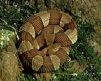 Great copperhead snake pic