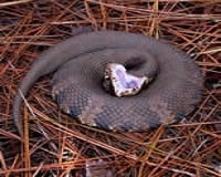Water Moccasin pic