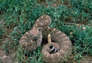Public Domain Diamondback Rattlesnake