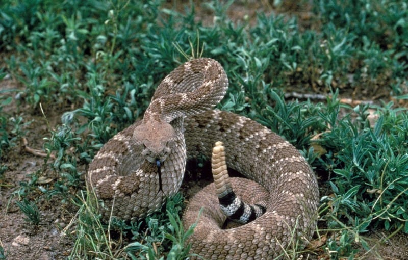 diamondback rattlesnake striking