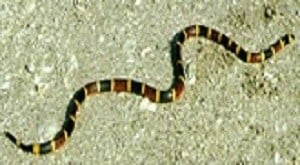 Crawling poisonous coral snake