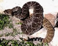 Coiled rattlesnake pic