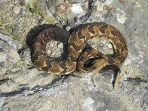 timber rattlesnake on stone